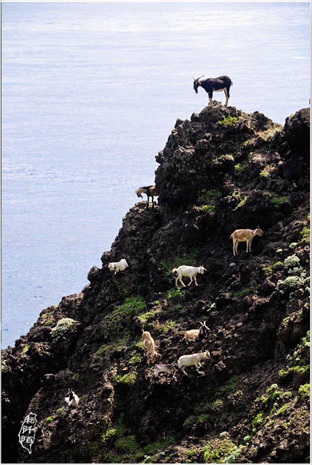蘭嶼的山羊10.jpg
