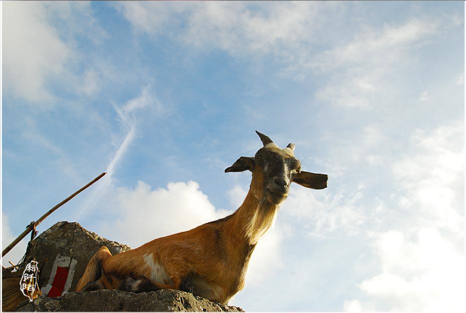 蘭嶼的山羊12.jpg