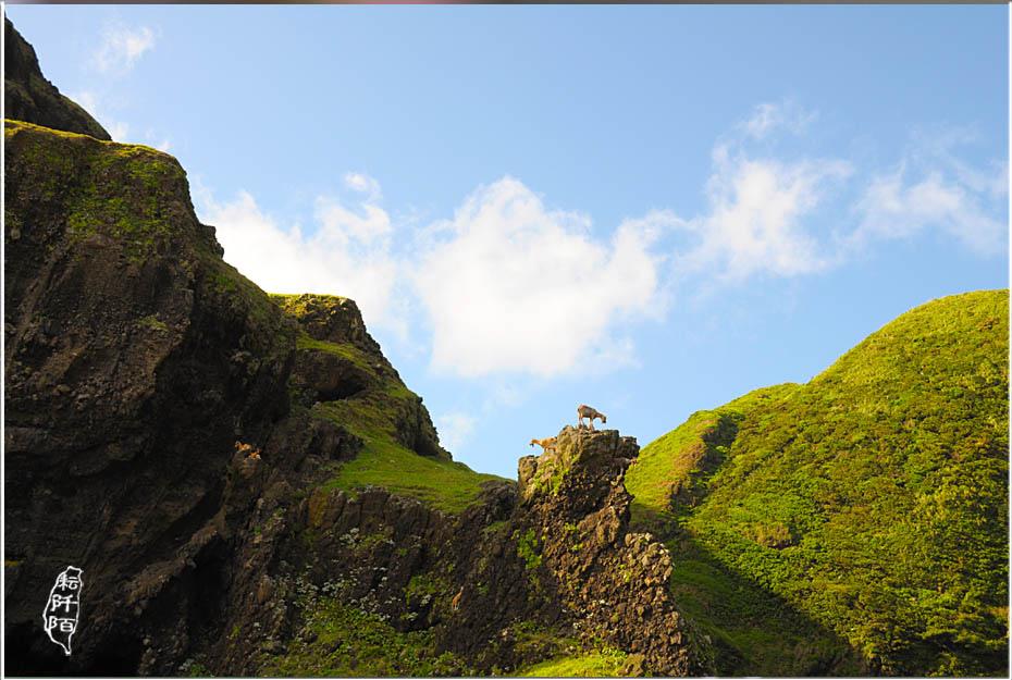 蘭嶼的山羊13.jpg