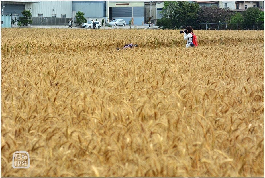 大雅小麥3.jpg