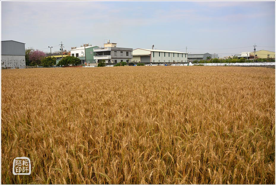 大雅小麥4.jpg