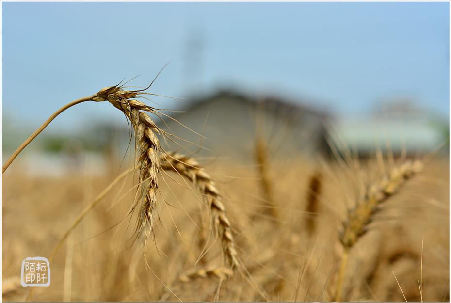 大雅小麥5.jpg