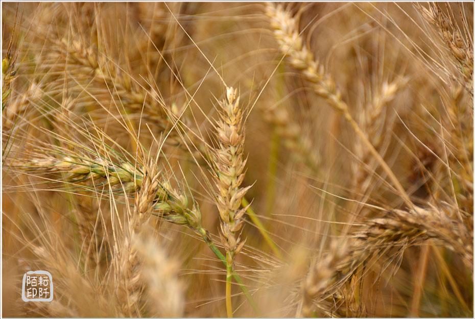大雅小麥6.jpg