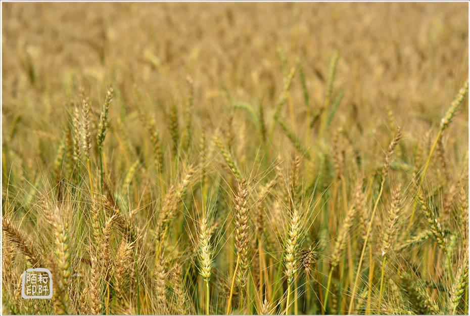 大雅小麥7.jpg