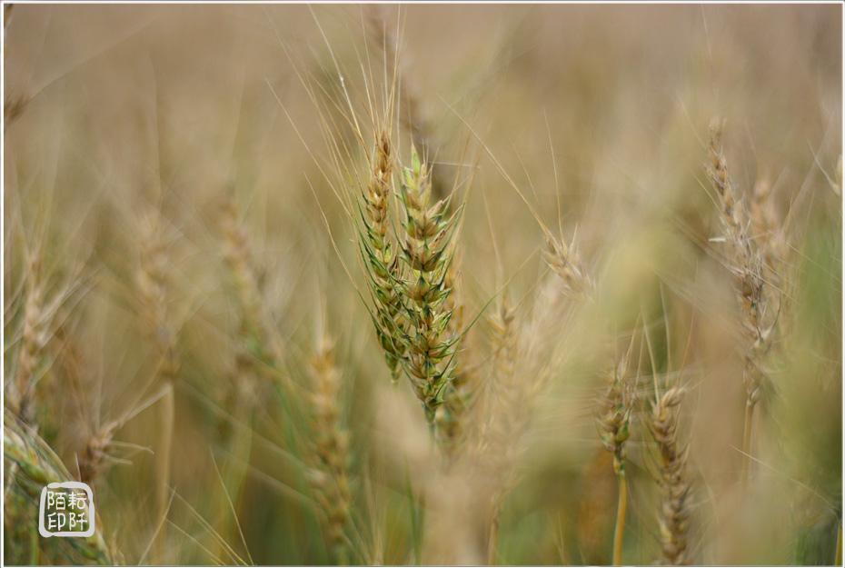大雅小麥8.jpg