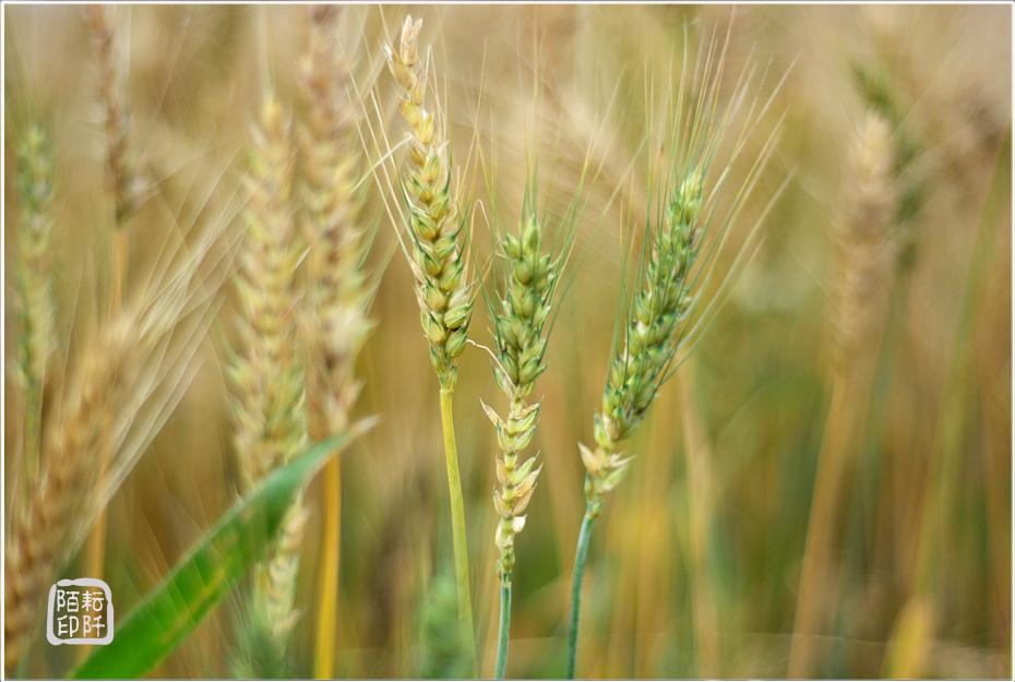 大雅小麥9.jpg