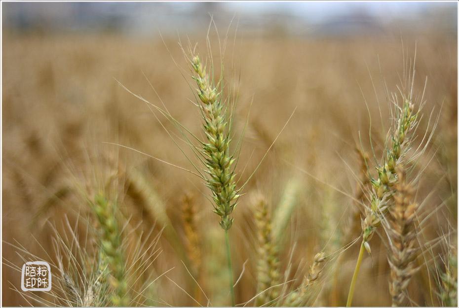 大雅小麥12.jpg