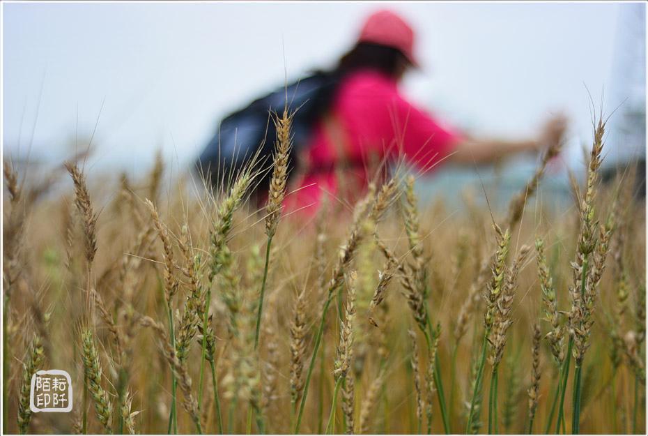 大雅小麥11.jpg