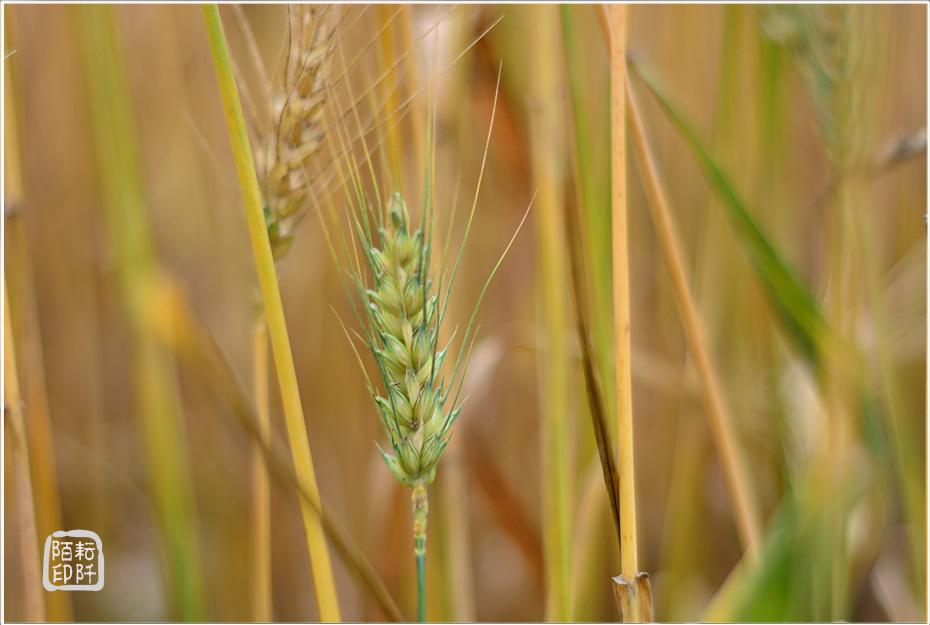 大雅小麥13.jpg