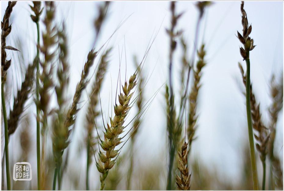 大雅小麥14.jpg