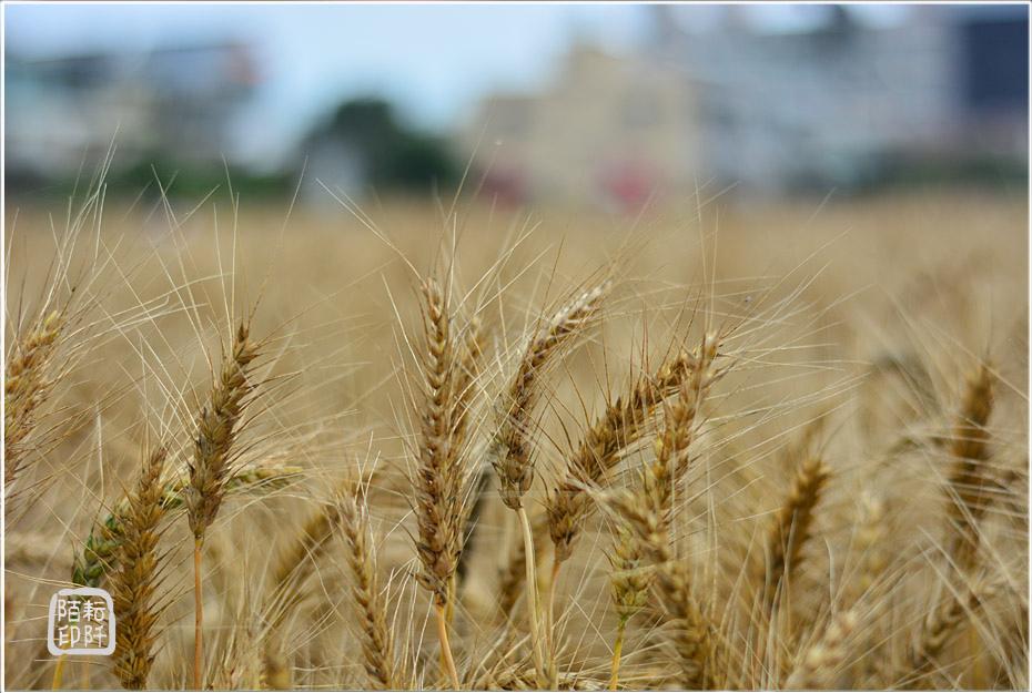 大雅小麥15.jpg