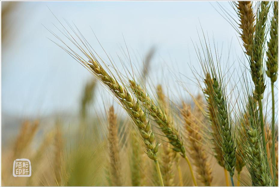 大雅小麥16.jpg