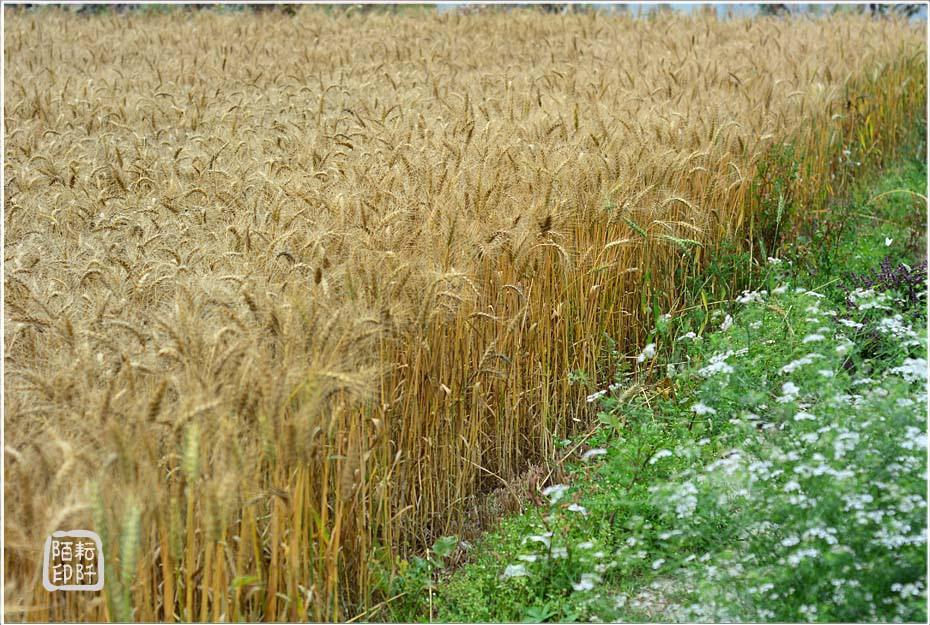 大雅小麥17.jpg