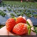 23草莓園.jpg