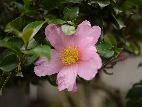 20091212由布院粉紅茶花.JPG
