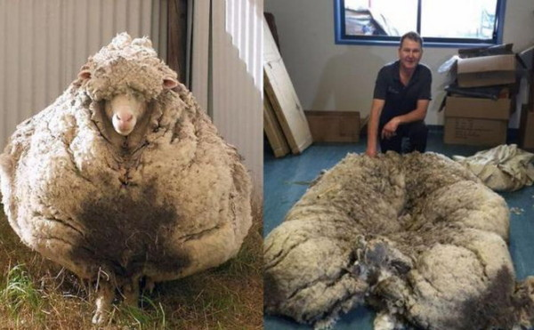 綿羊克里斯1