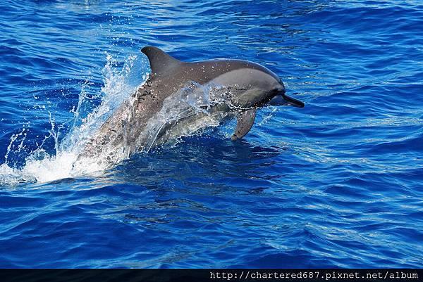 吻飛旋原海豚.jpg