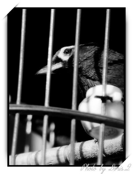囚鳥.jpg