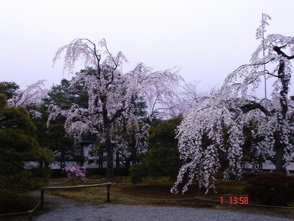 京都人最愛的垂枝櫻