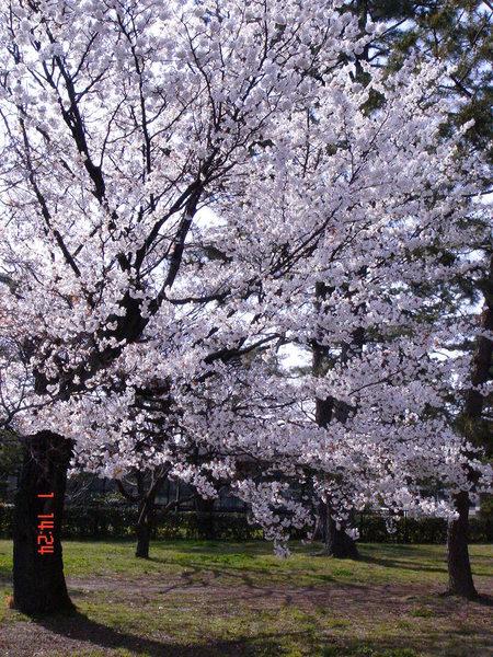 京都御苑內爆開的櫻花