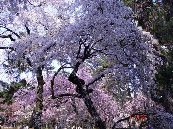 這些櫻花安慰了我