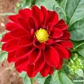 red-dahlia-flower.jpg