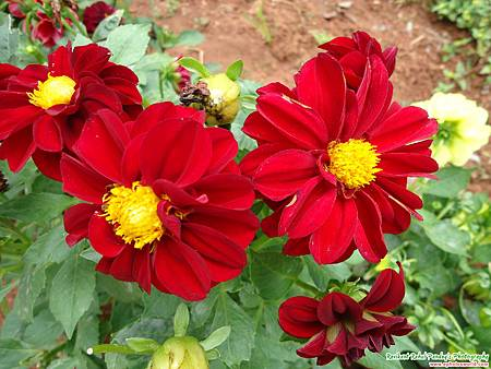 red-dahlia-flowers-photo.jpg