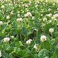 白花三葉草