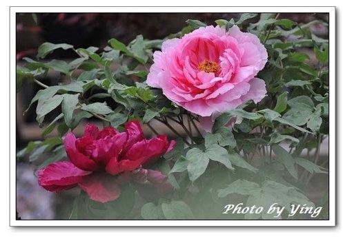 杉林溪牡丹花相片.jpg