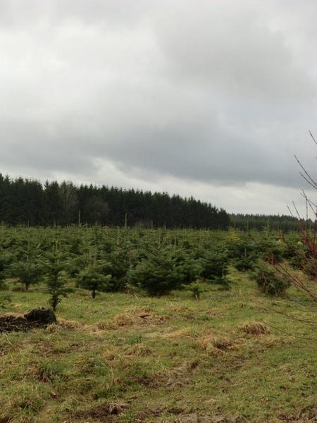 Tchen發現「聖誕樹的田」.jpg