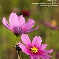 2014農曆新年-五結波斯菊