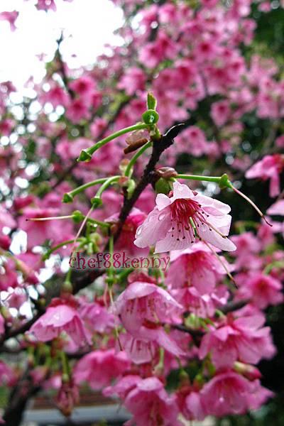 n20120207 雨後櫻花 001.jpg