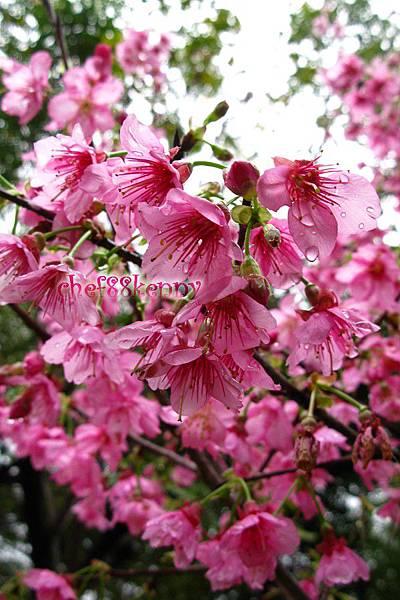 n20120207 雨後櫻花 008.jpg