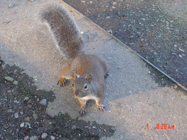 金門公園裡隨處可見的松鼠