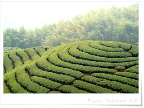 八卦茶園11.jpg