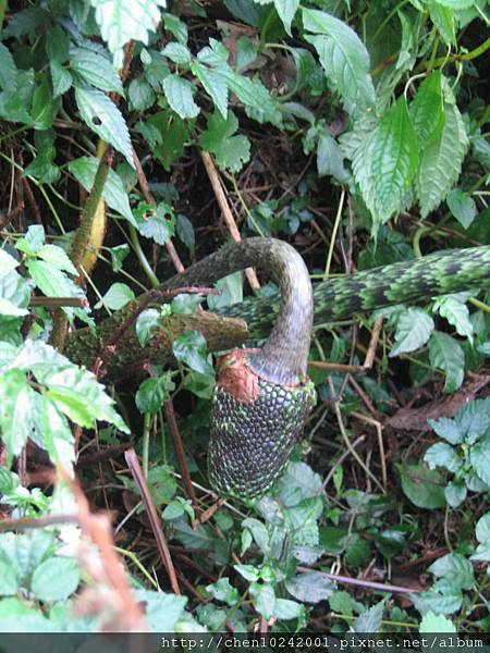 神木園裡忘記叫什麼的蛇頭植物
