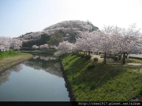 所謂的櫻花滿開