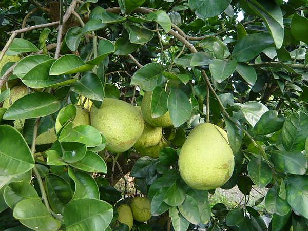 中秋節採柚趣