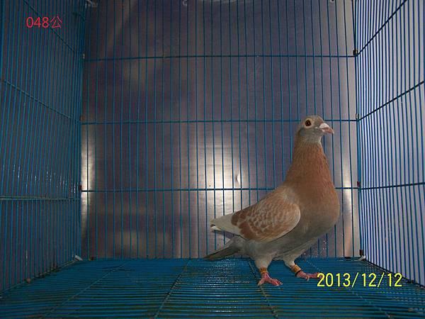 阿密魯公鴿 2