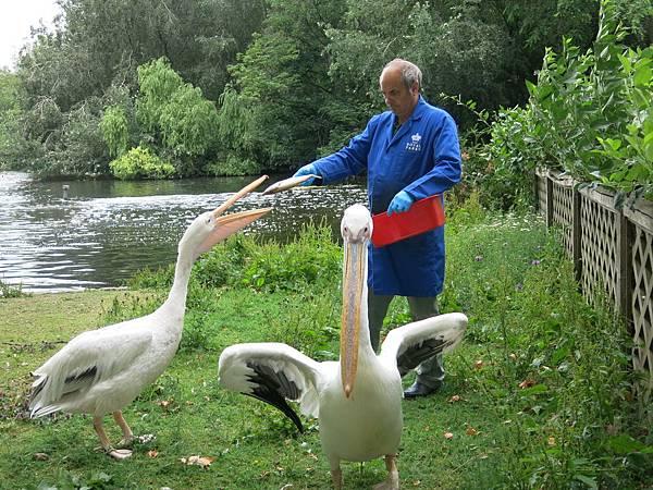 倫敦 聖詹姆斯公園 餵鵜鵠 pelican feeding, St. James Park, London