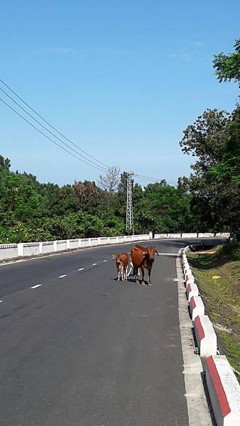 道路上的牛