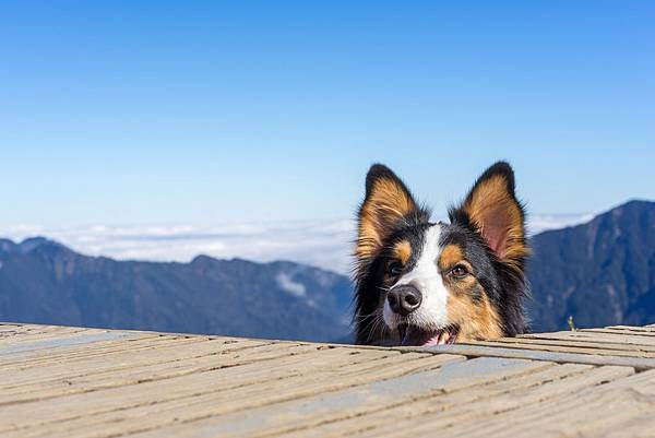 shutterstockˍ邊境牧羊犬與山景