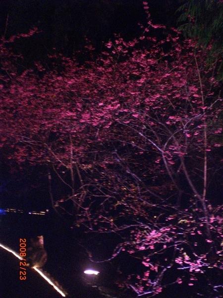 櫻花小徑一