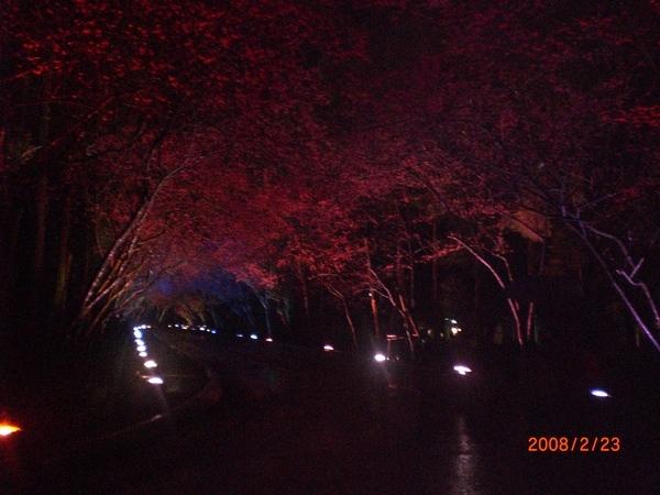 櫻花小徑三