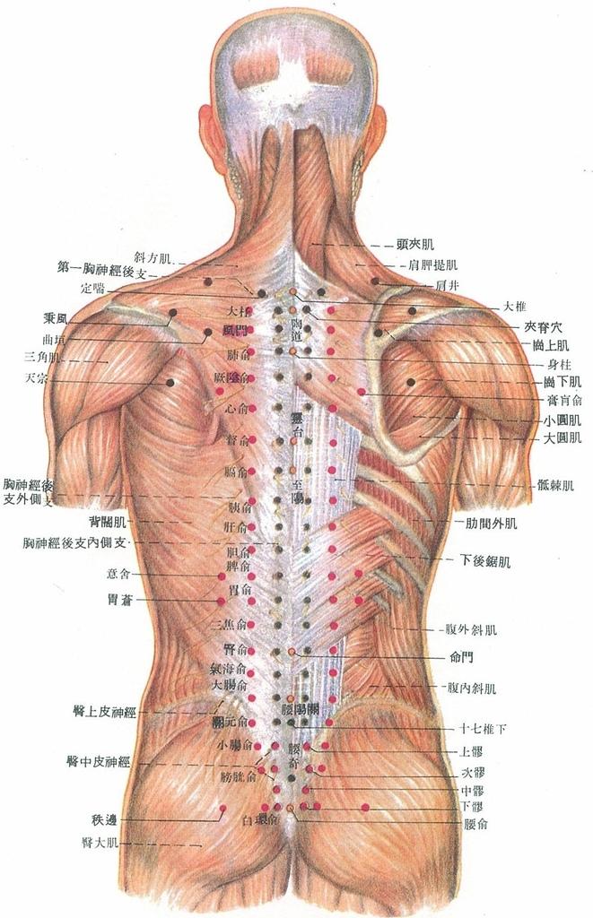 驅幹後穴位肌肉淺層解剖結構2