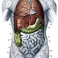 人體解剖圖-身體主幹-正面圖.jpg