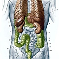 人體解剖圖-身體主幹-背面圖.jpg