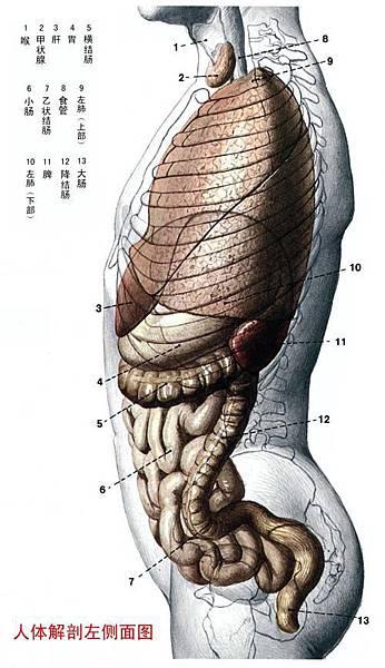 人體解剖圖-身體主幹-左側圖.jpg