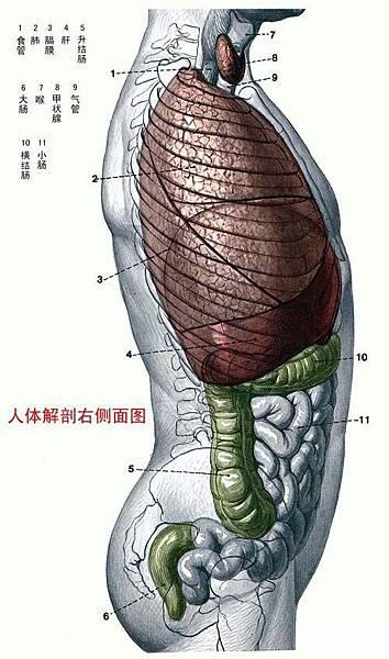 人體解剖圖-身體主幹-右側圖.jpg