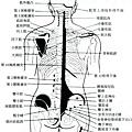 軟組織疼痛強刺激推拿壓痛點解剖圖.jpg